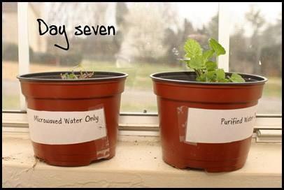 Die Wirkung Von Mit Mikrowellen Bestrahltem Wasser Auf Pflanzen
